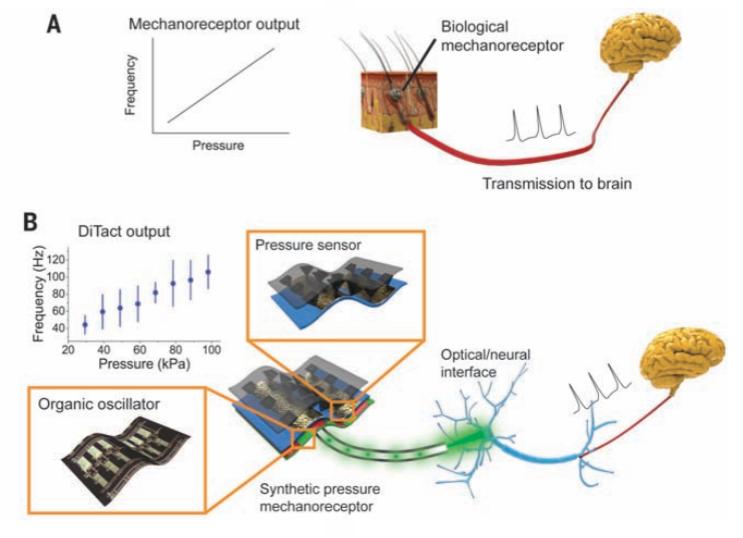压阻式传感器安装在模型机器人手的手指上 一种如同皮肤般的高分子材料正在使用碳纳米管给机器人和假肢装置带来触摸的感觉。由斯坦福大学和施乐公司帕洛阿尔托研究中心的研究人员开发出来了一种高分子皮肤,这种数字触觉系统(DiTact)包含了加入碳纳米管的压力传感器和灵活的有机印制电路,用来模仿人类的反应。 研究团队表示他们的目标就是制造一种能像人体一样传递信息的传感器皮肤。这个目标是使装在假肢上的皮肤能以自然的方式感觉到触摸,并且将这些信息传达给戴着假肢装置的人。