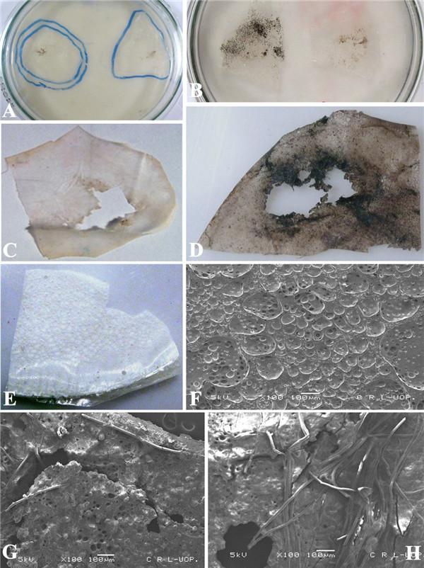 昆明植物所许建初研究组发现塔宾曲霉菌对聚
